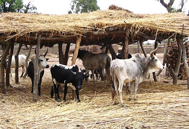 Le vol de bétail a un impact macro-économique énorme estimé à plus de deux milliards de Fcfa...