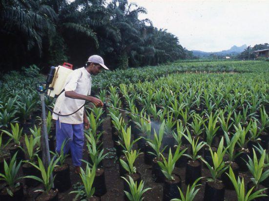 plantation-de-palmiers-a-huile